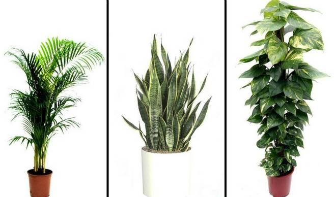 5 cây cảnh trồng lọc không khí trong nhà