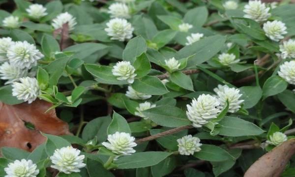 Thận trọng khi dùng thuốc từ cây cỏ để chữa bệnh