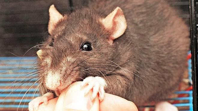 Người phụ nữ Anh tử vong do bị chuột cắn